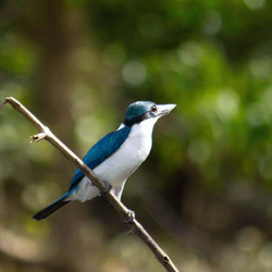 Collard,Kingfisher
