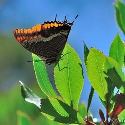 Jasiusvlinder