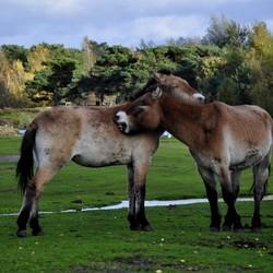 Przewalskipaarden in Safari Park Beekse Bergen.