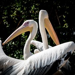 De Pelikanen