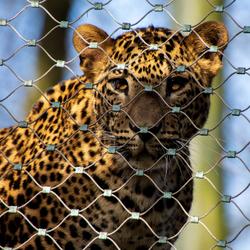 Sri Lankaanse Panter in Burgers' Zoo Arnhem