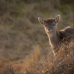 Nieuwsgierig jong Hert