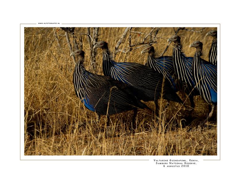 Vulturine Guineafowl, Kenia - Gierparelhoen van het noordoosten van Kenia, een van de bijzondere soorten in Samburu NP. Meestal in groepen op de grond
