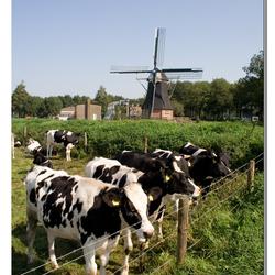 Zuidlaarder koeien