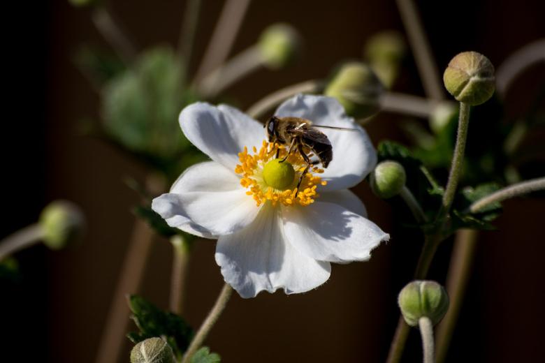 Blije Bij in een witte bloem - Foto is gemaakt, in onze achtertuin. De bloemen stonden mooi in de zon, en deze bij kwam erbij zitten.