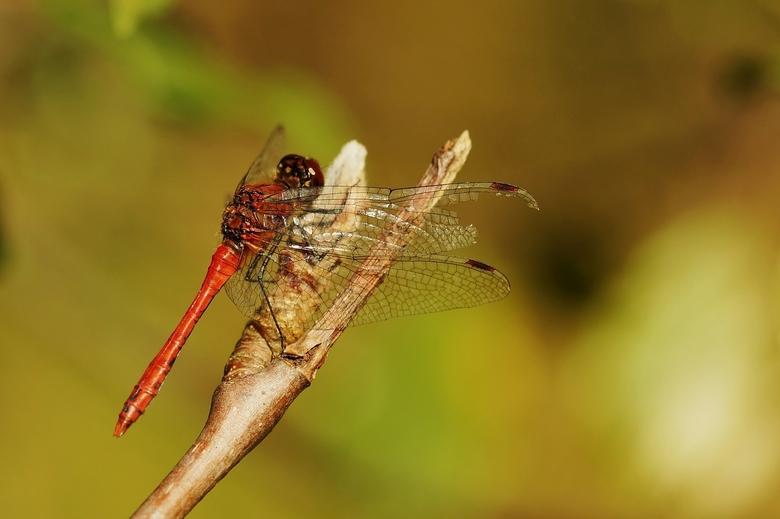 Libelle - Oisterwijkse Bossen en Vennen