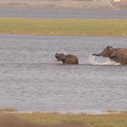 olifanten in water
