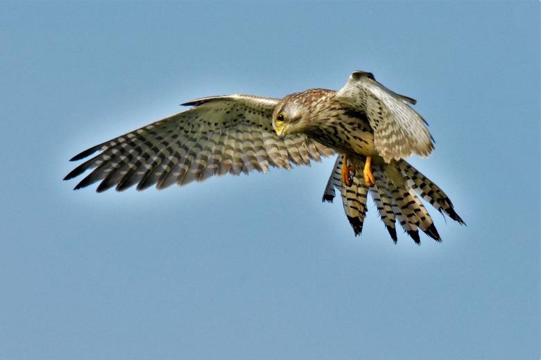 Biddend torenvalkje - Er vliegen veel jonge valken van dit jaar met elk een eigen territorium in dit weidegebied.