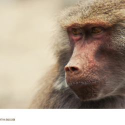 Lady Baboon with a sad look