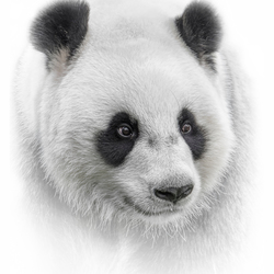 White Animal Portrait ~ Panda