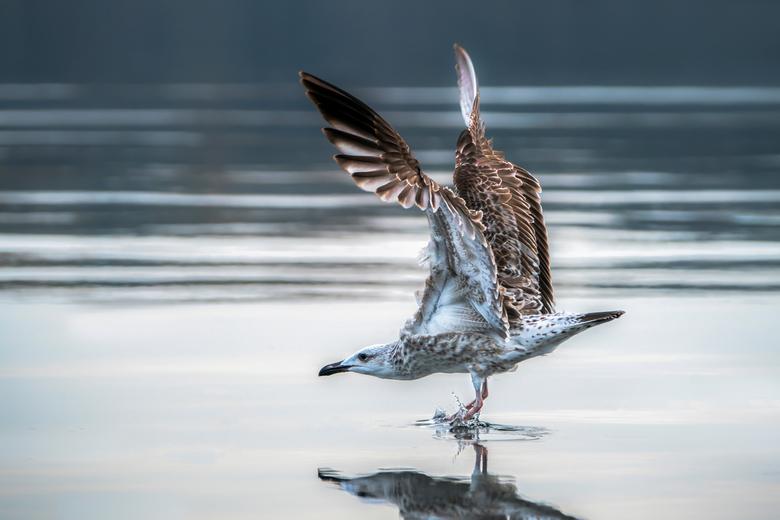 Remmen! - Een pontische meeuw land op het water van de Oderdelta in Polen. <br /> <br /> Door de snelheid bij het landen helt de meeuw helemaal naar