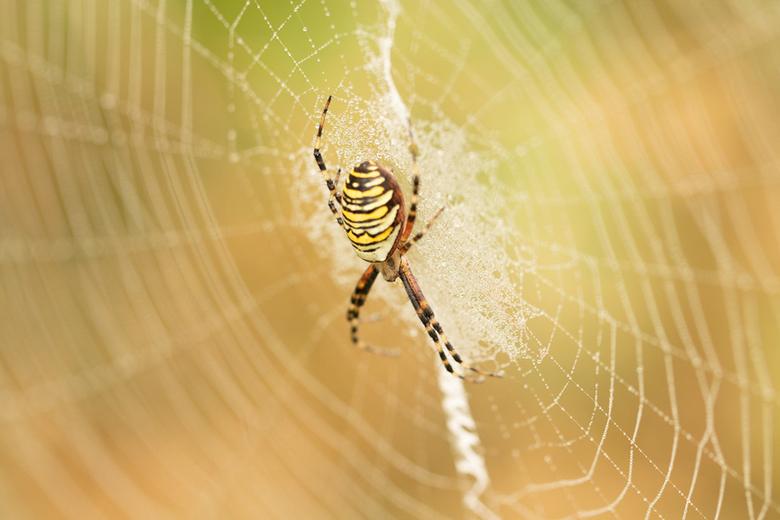 Wespspin - Mooie vrouwelijke wespspin in haar web. De kleurige achtergrond maakt het helemaal af