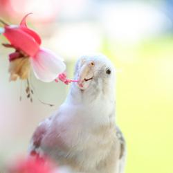 Valkparkiet in de bloemen