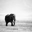 Eenzame olifant in de Ngorogorokrater - Tanzania