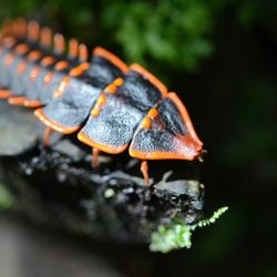 Trilobite Beetle Borneo