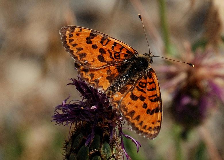 Tweekleurige parelmoervlinder - In Frankrijk gefotografeerd