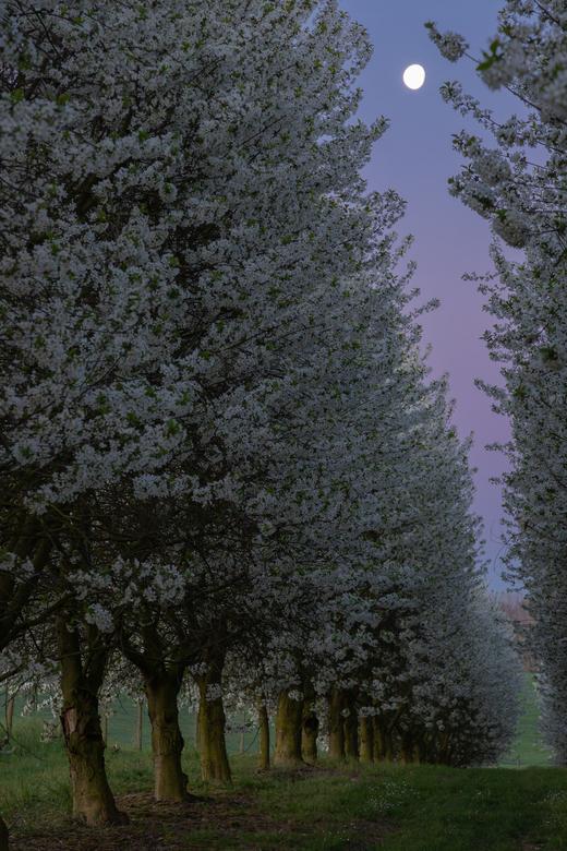 Zonsopkomst tussen de bloesemende appelbomen  - Kleurrijke zonsopkomst tussen de bloeien de appelbomen waarbij de maan nog duidelijk zichtbaar is in d