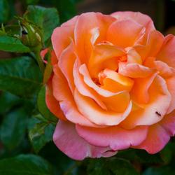 Miertje op een mooie roos!