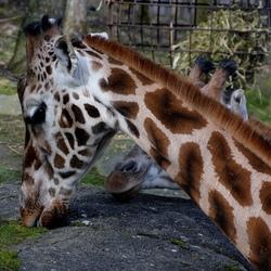 close-up giraf