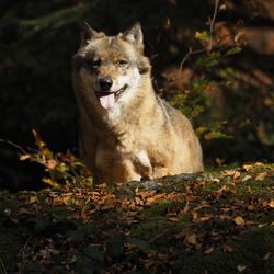 Bayerische wolf