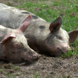 2 luie varkens