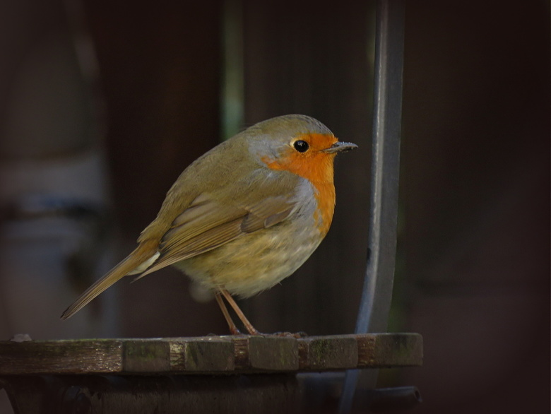 Robin -