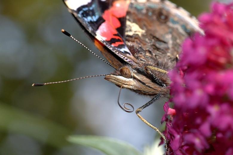 Atalanta - Vlinder op vlinderstruik