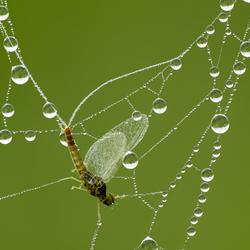 eendagsvlieg in spinnenweb met dauw