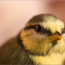 baby pimpelmees close-up