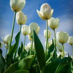 Tulpen op de bollenvelden