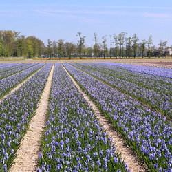 Hyacintenveld Lisse.