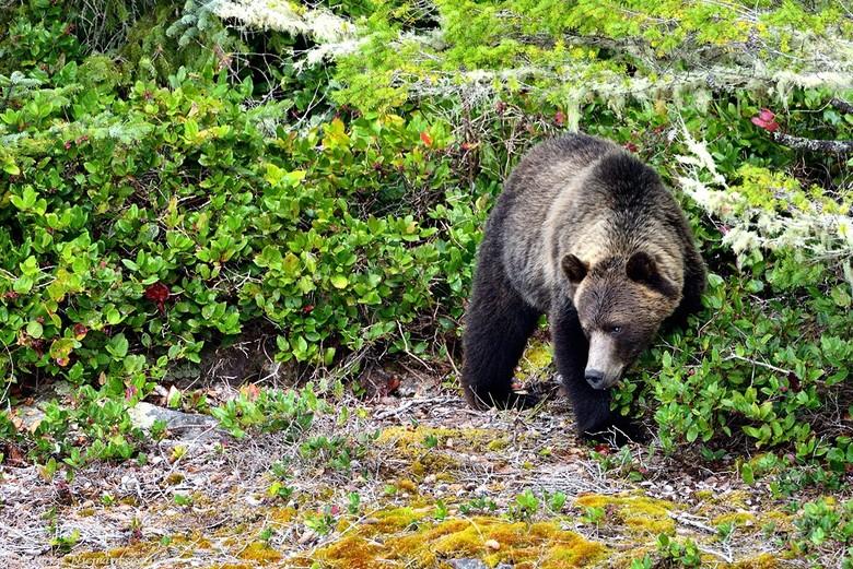 Looking for berries - Een grizzly op zoek tussen de struiken, naar verse rode bessen. Op het menu van de beren staan o.a. bessen, noten, knollen en vo