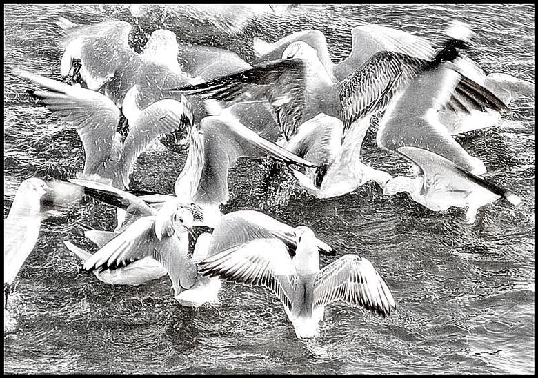 dancing birds.. - een wirwar van vleugels laag<br />  boven de Rijn.<br />  poging een soort Escher-effect  te bereiken, alhoewel dat natuurlijk<br