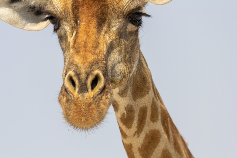 Giraf -