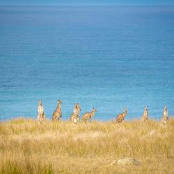 Kangaroos, Australia