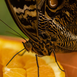 vlinder Amazonica