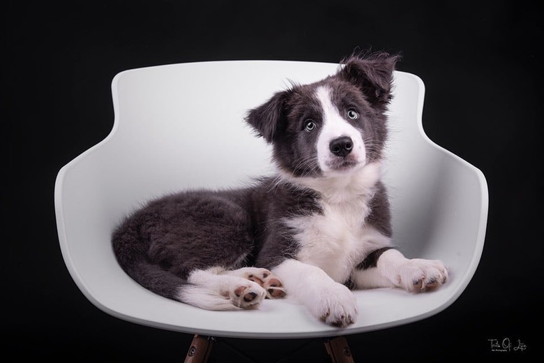 Border Collie -