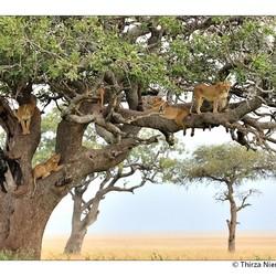 Serengeti Lion Pride