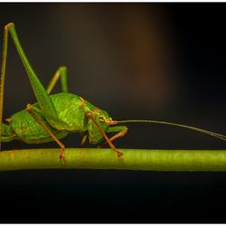 Groene Sprinkhaan