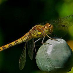 Heidelibelle autonoom in biotoop