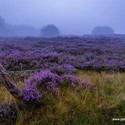 Heather in the fog