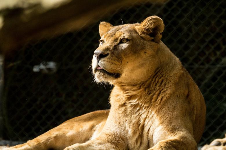 Leeuwin - Vandaag naar DierenPark Amersfoort geweest. Dit was tevens de eerste keer dat ik in een grote dierentuin heb geschoten.
