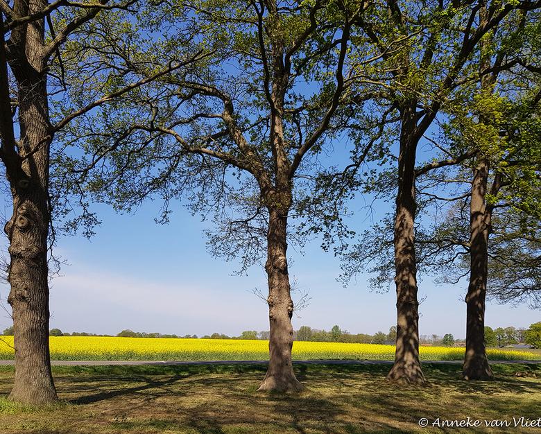 Koolzaad (Brassica napus) - in Twente.