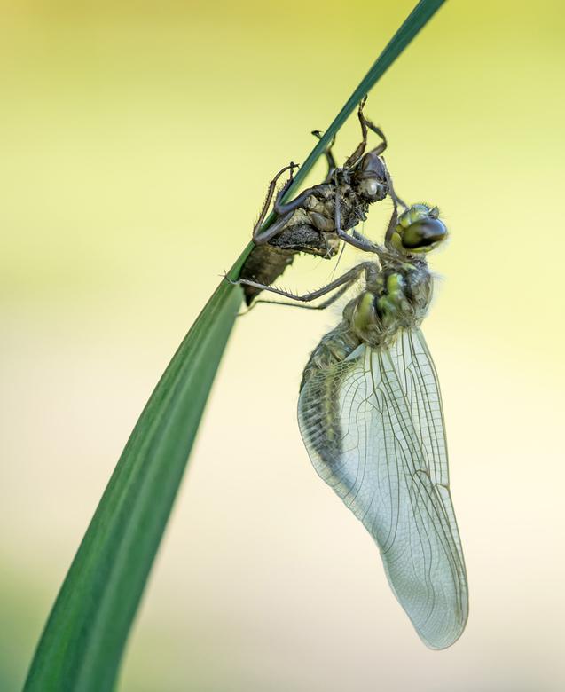 The birth of a four-spotted chaser - Het blijft een mooi zicht om libellen te zien uitsluipen, hier een Viervlek. Dank voor jullie reactie's op &