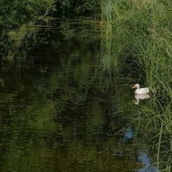 Witte eend