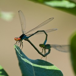 Dragonfly Love II