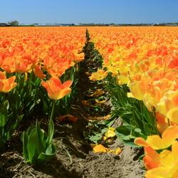 oranje veld