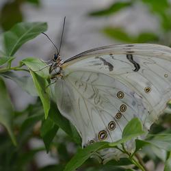 Protogoniomorpha Parhassus