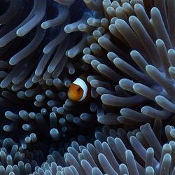 Clownfish-Indonesië