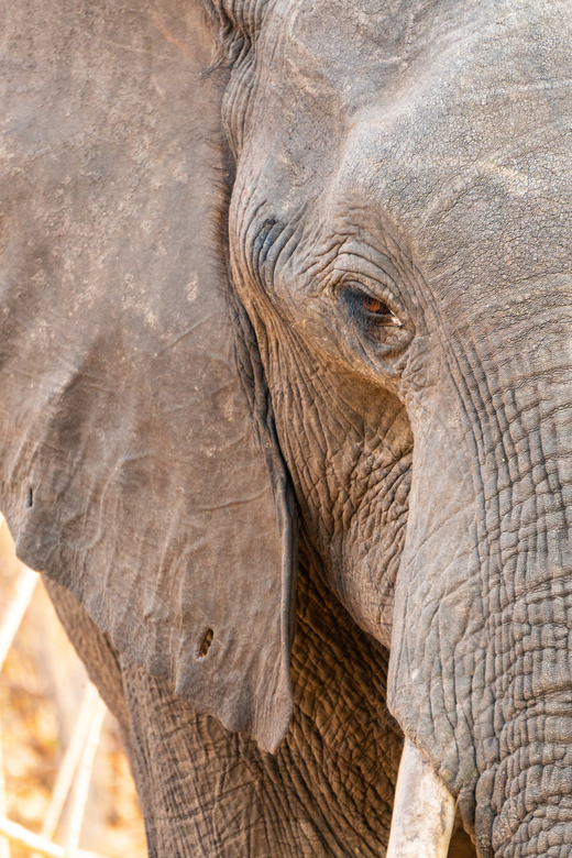 Close-Up Olifant  -